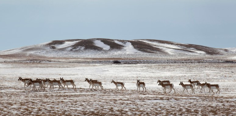Pronghorn antelope walk across a pasture near Maple Creek, Saskatchewan