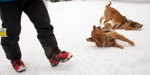 AVALANCHE DOG IN TRAINING ANFO (LEFT) AND AVALANCHE DOG HUCK PLAY IN THE SNOW