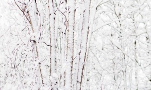 SNOW COVERS A STAND OF POPLAR TREES